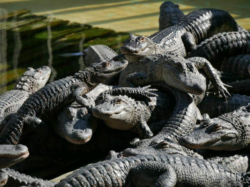 A mound of baby alligators