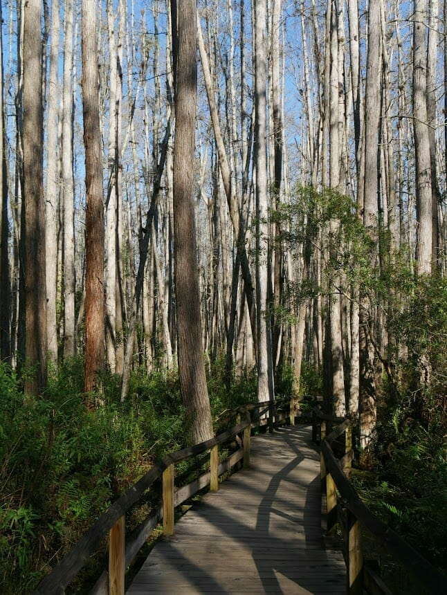 Trees in a swamp with a path through