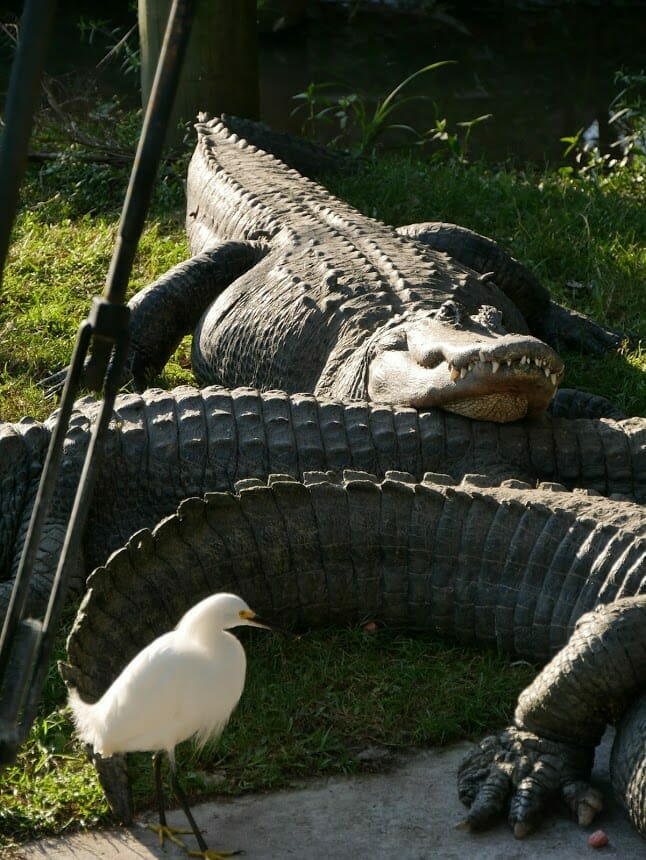 Some alligators lying on each other