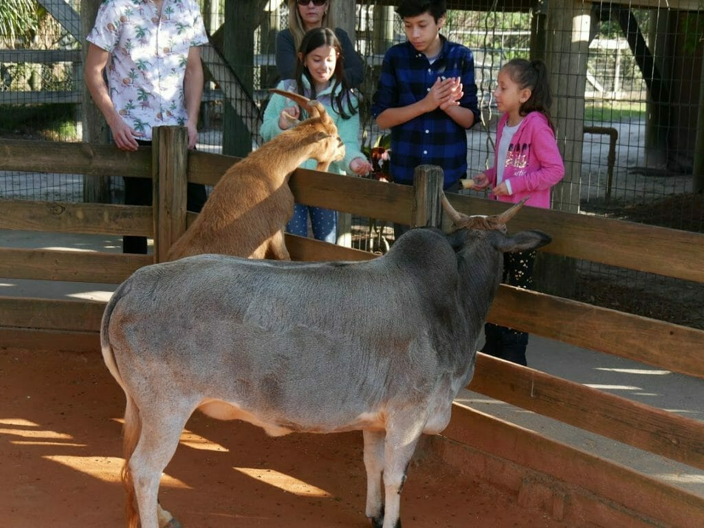 A goat with some children