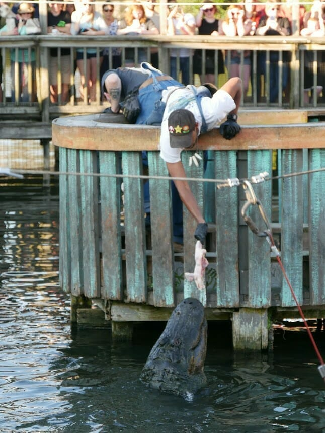 A staff member leaning over water feeding an alligator some chicken