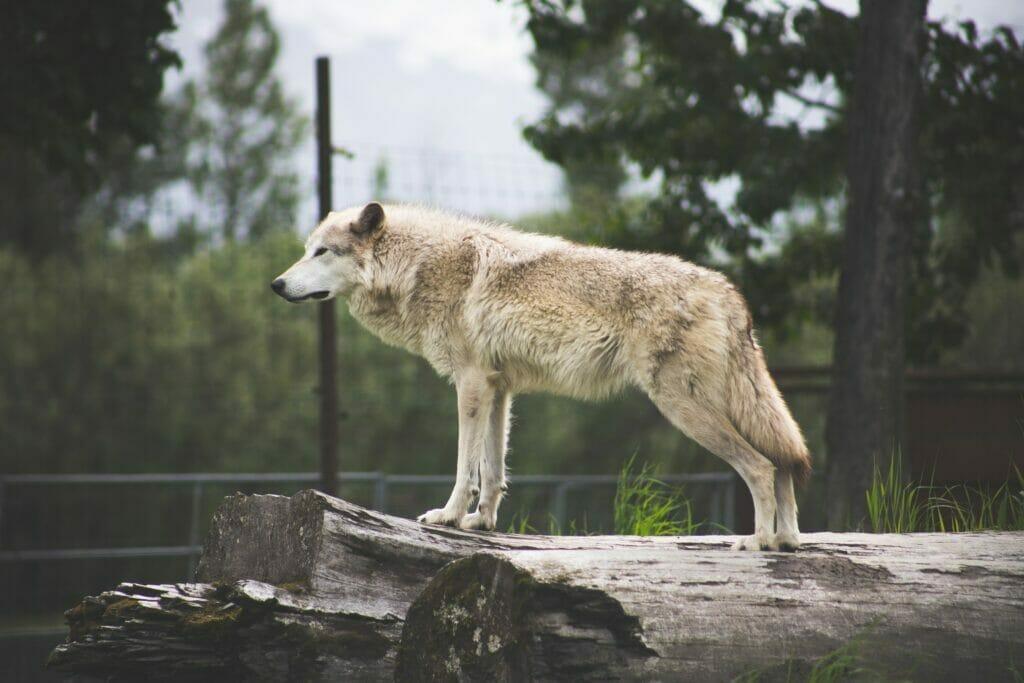 wolf in yukon delta