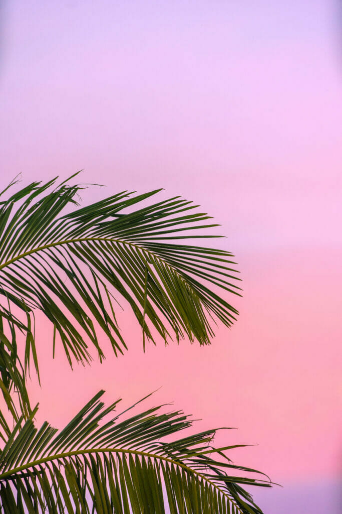 palm tree leaf in sunset